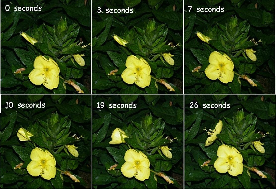 Evening Primrose Blooming M