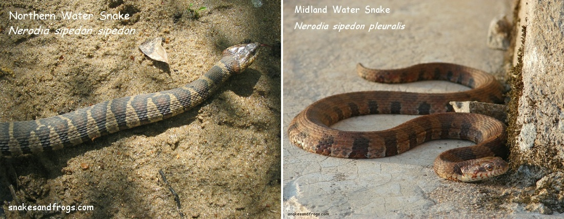 Northern Midland Watersnake